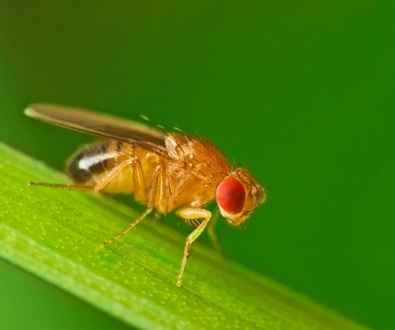 Adventures in Genomics: The Fruits of Fruit Fly Research