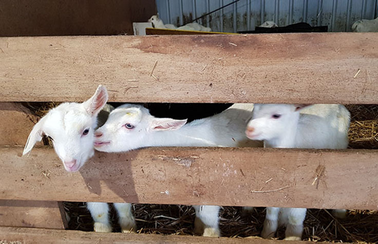 Genotyping by Sequencing Enables Selective Breeding of Goat Herd